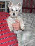 H&H Westies - West Highland White Terrier breeder in Mount